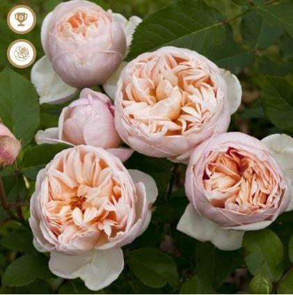 Rosier 'Belle Romantica' photo du site de Meilland Richardier.
