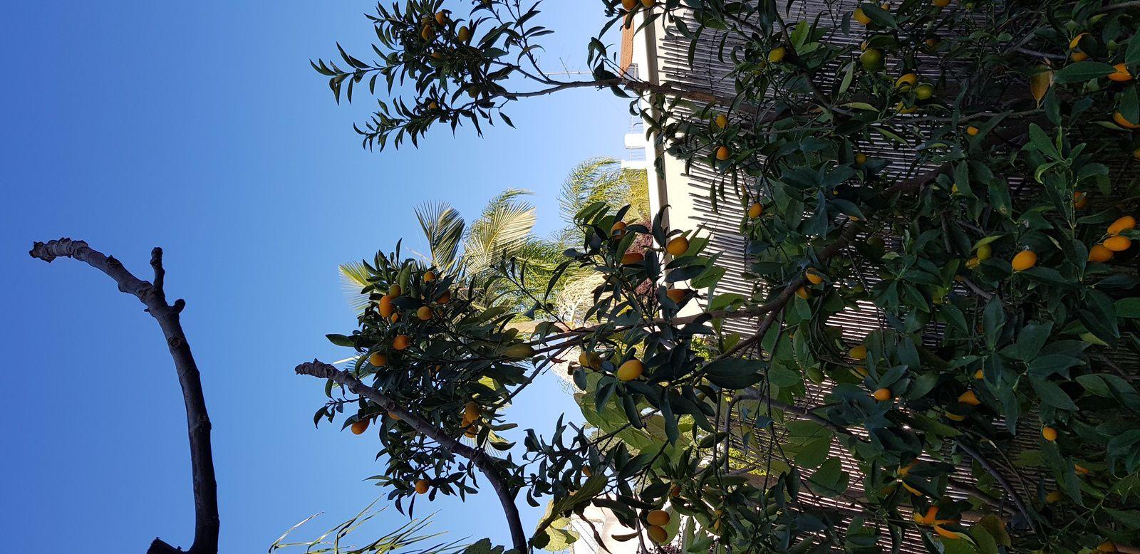 les petites boules oranges sont des kumkats!