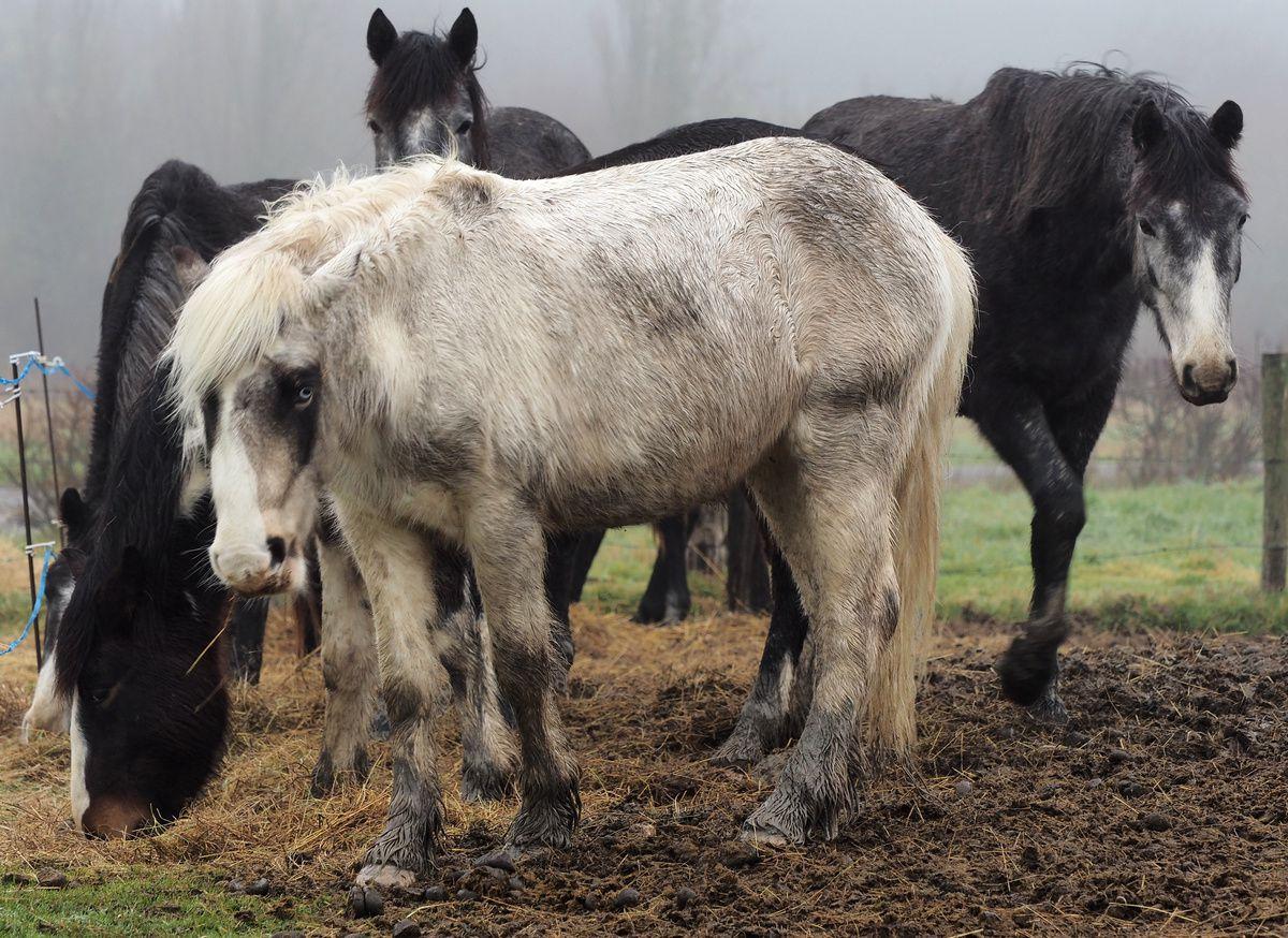 Les petits chevaux du marais de Lyarne dans le brouillard