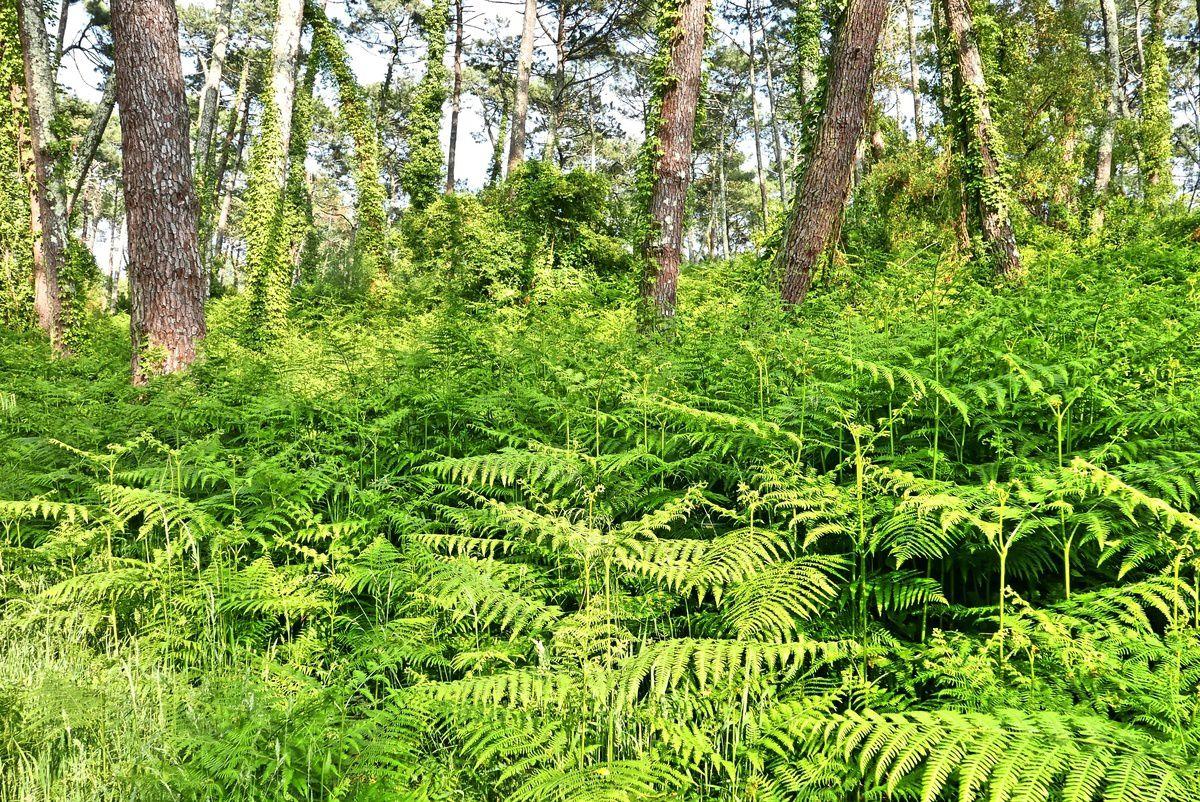 La forêt de Chiberta et la maison de David Thoreau