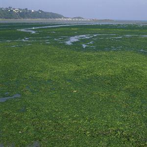 Algues vertes un symbole de la nécesité de sauver notre terre