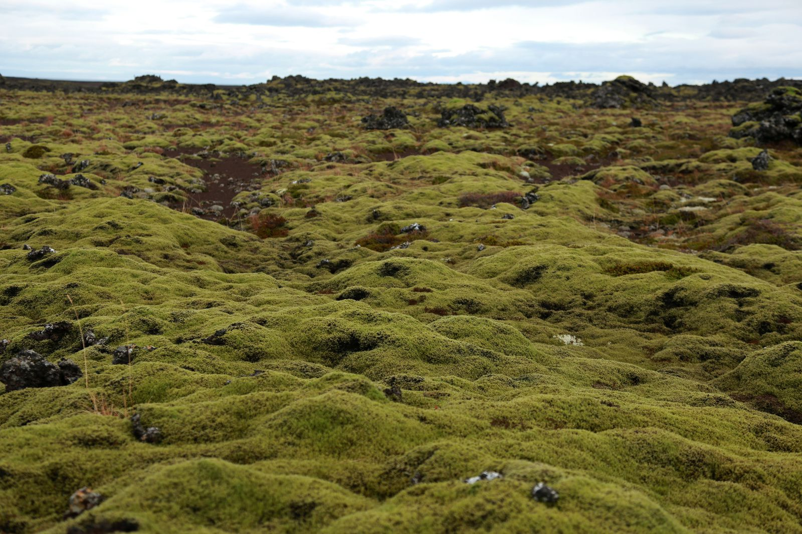 Lava fields covered with mosses and lichens north of Snaefellnes - photo © Bernard Duyck 10.2016.