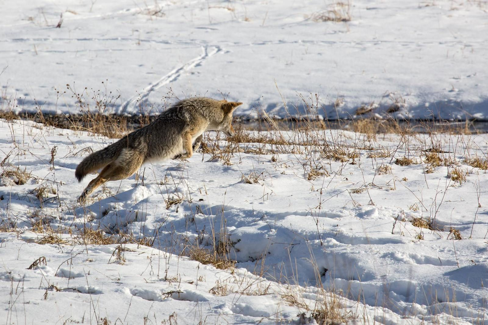 Coyote hunting in Round Prairie, near Pebble Creek Campground. - Photo Yellowstone forever / 11.2016