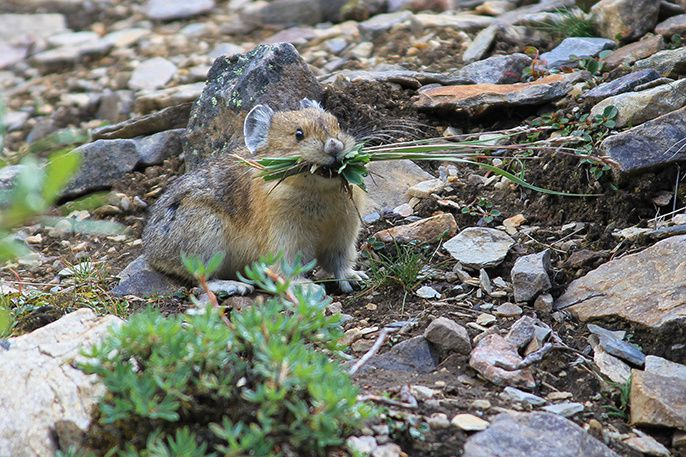 A pika holds grass clippings in its mouth.- photo David Restivo - Natural resource stewardship and science directorate