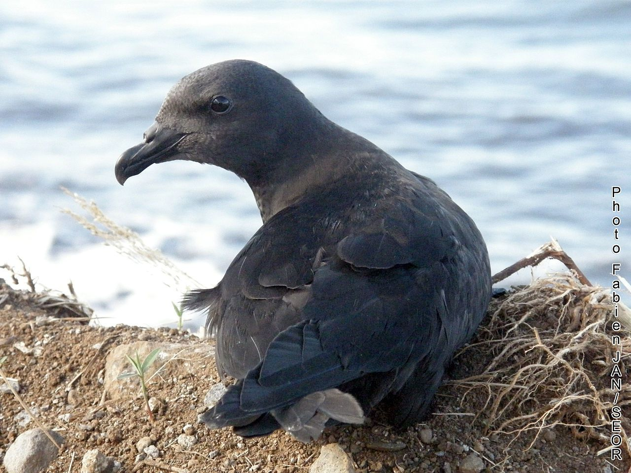 Bourbon black petrel - photo Fabien JAN -SEOR / FabKacau / CC BY-SA 3.0