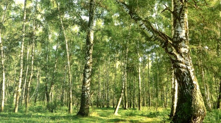 Drumbabót - Birch forest, as imagined by scientists in the 9th century before the human settlement in Iceland - Photo The Soil Conservation Service of Iceland.