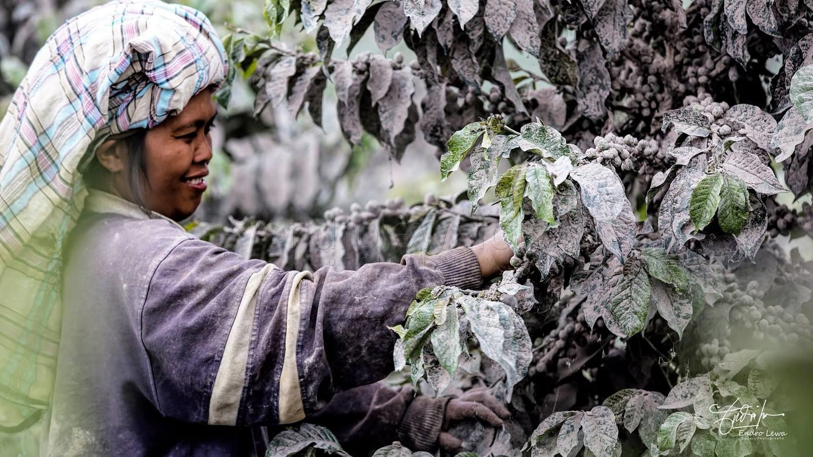 Sinabung - Adults working in fields without wearing masks - Photo Endro Lewa
