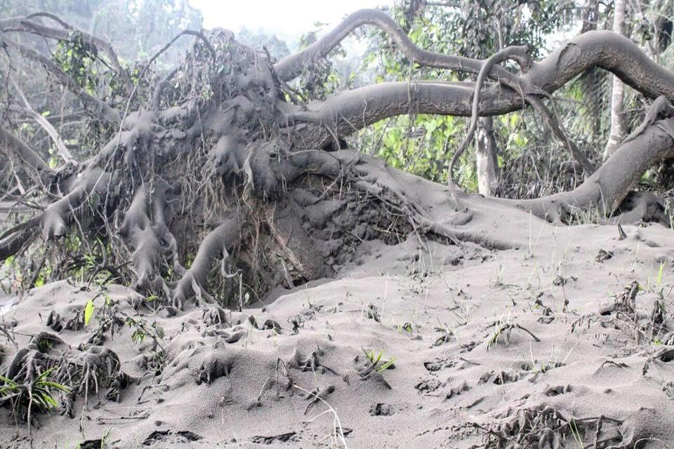 Ambae - des arbres tombent, les cocotiers et les habitations sont couverts de cendres grasses - photos Vanuatu Red Cross