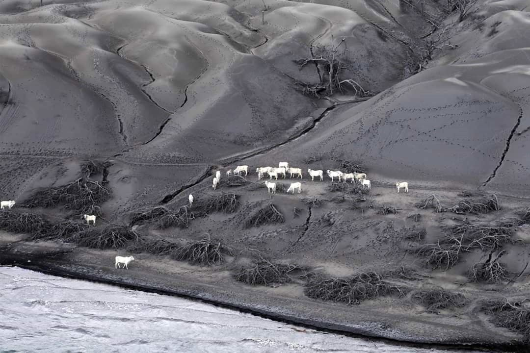 Taal - volcano island - A flight by a military helicopter from volcano island has found a herd of around twenty white cows