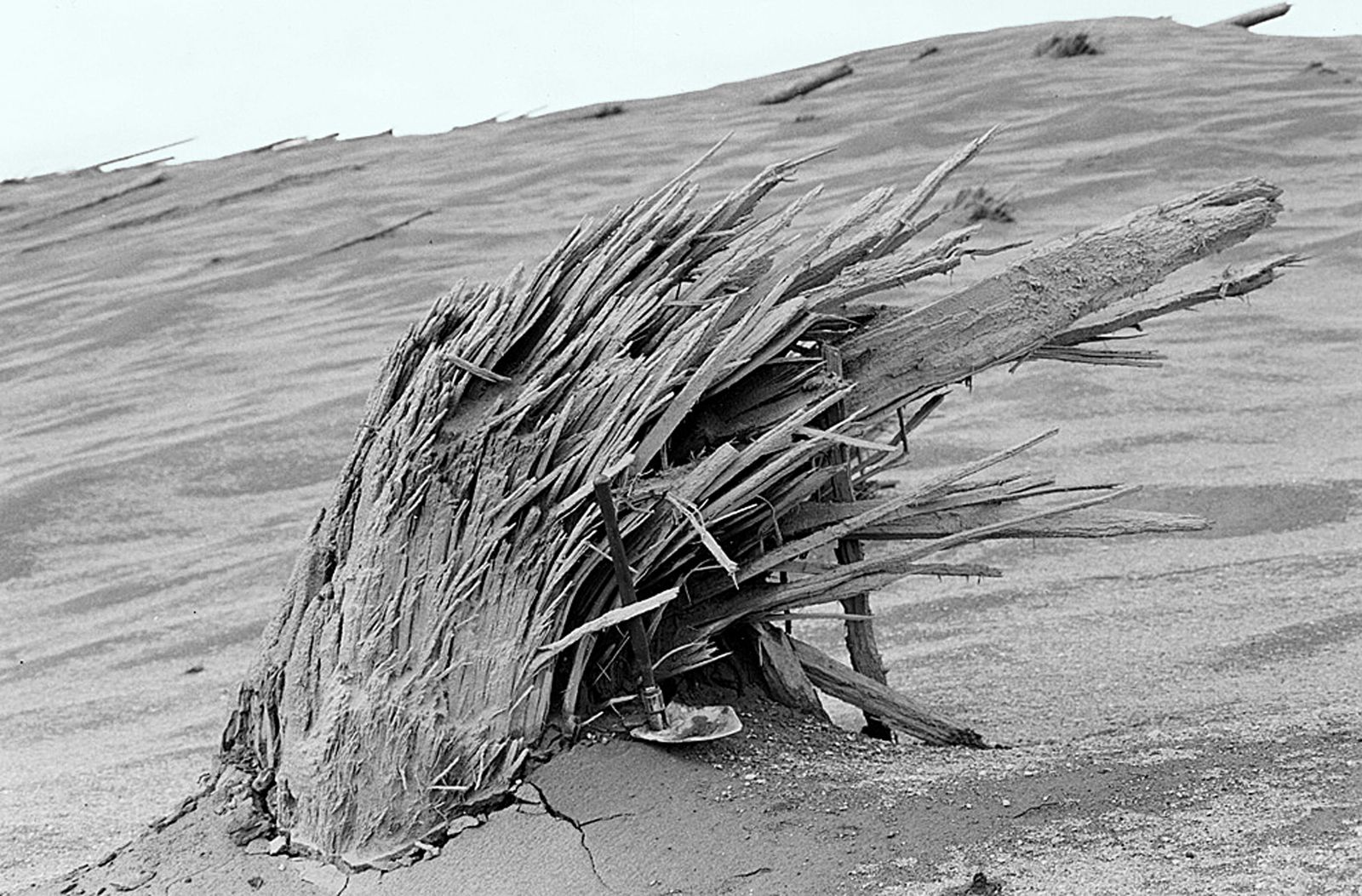 St. Helens - a tree cut by force of the blast (the shovel gives the scale) - photo USGS / S.W.Kieffer