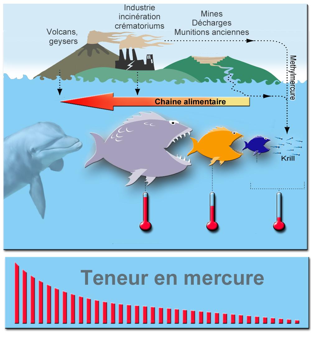 Concentration du mercure dans la chaîne alimentaire (bioamplification) - Doc. Wikipedia