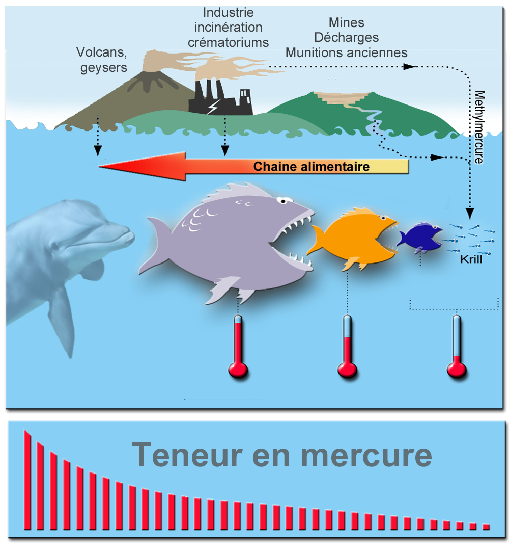Concentration of mercury in the food chain (biomagnification) - Doc. Wikipedia
