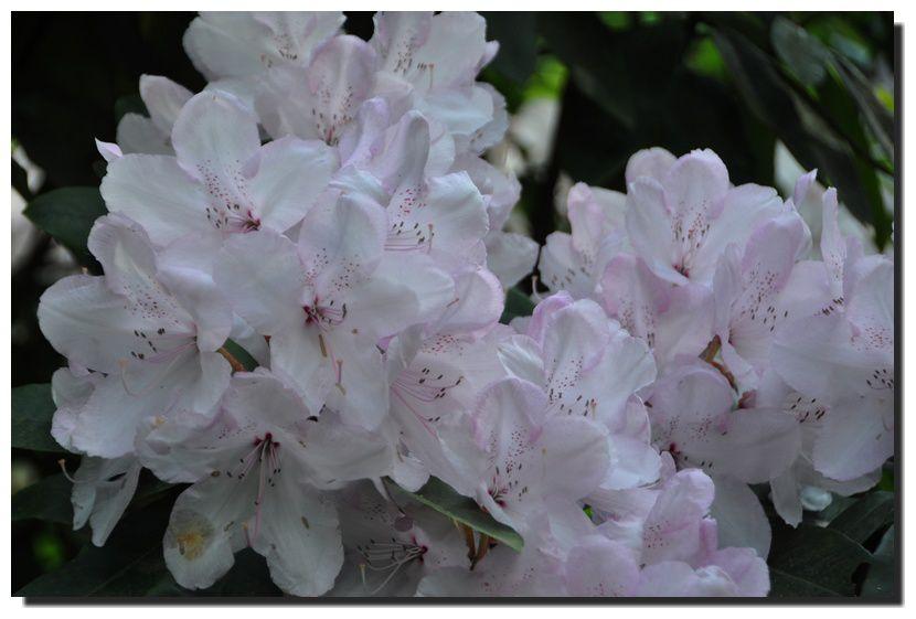 Les rhododendrons et azalées en fleurs