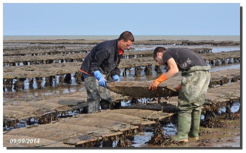 Marée équinoxe : travail de l'huitre