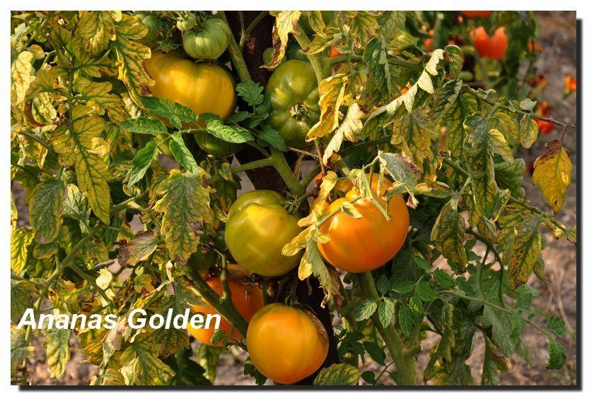Des tomates, toutes les couleurs, toutes les formes
