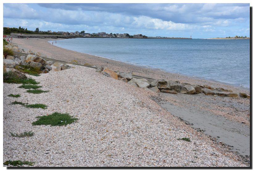 """Des amas de coquillages """"Crepidula Fornicata"""" plage de la Hougue à Saint-Vaast"""