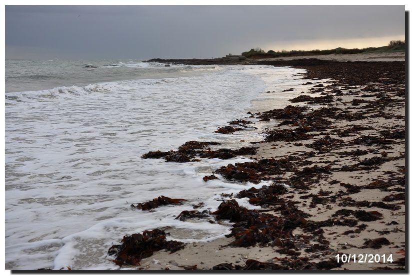 Le varech sur la plage, le vré venun