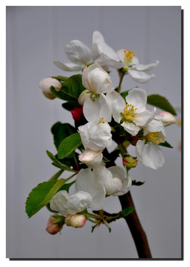 Des pommiers bonzaï bien fleuris