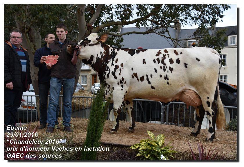 Concours Général Agricole Les vaches normandes de la Manche