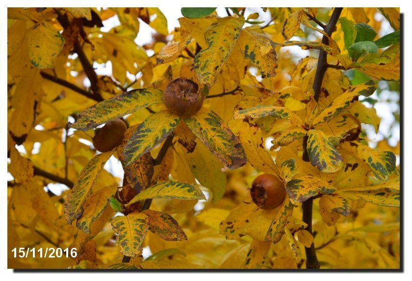 Le Mêlier -  néflier d'automne