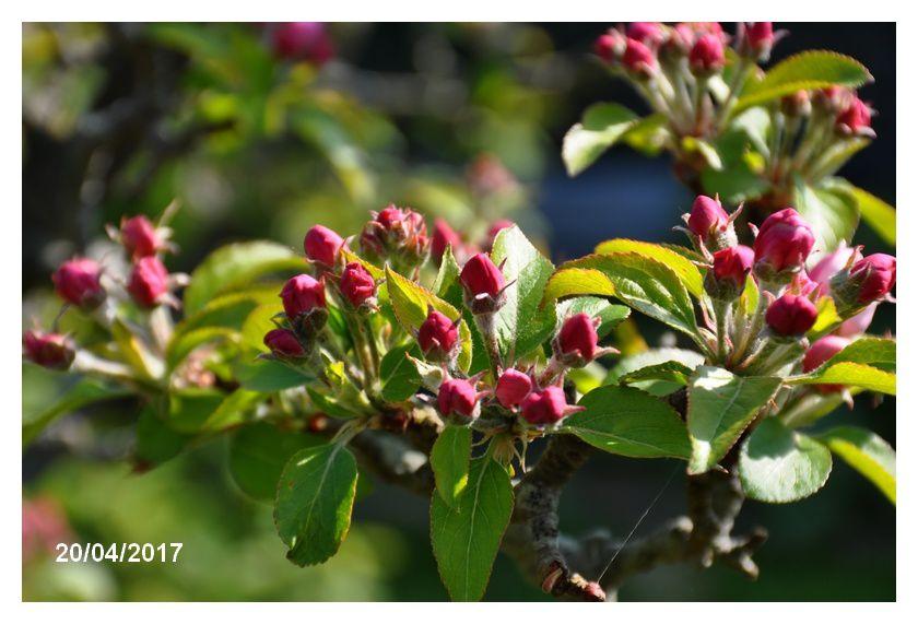 Cerisiers roses et pommiers blancs