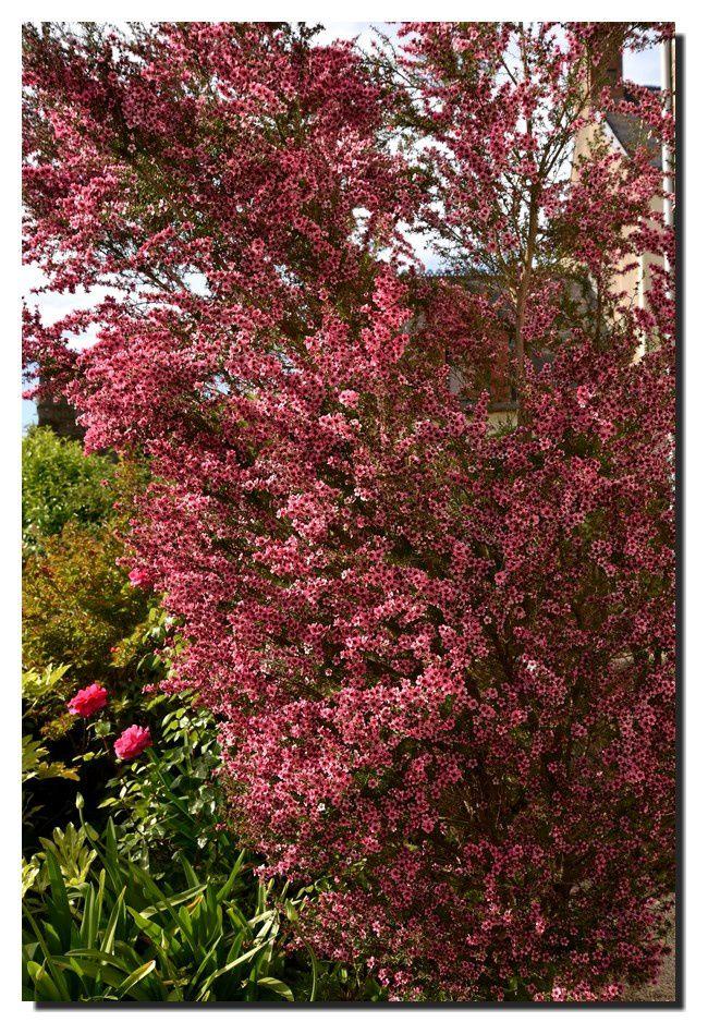 L'arbre à thé du jardin