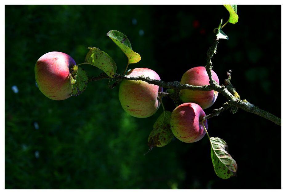 L'heure de croquer la pomme mûre est venu