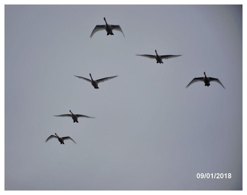 Une belle formation, vol de cygnes