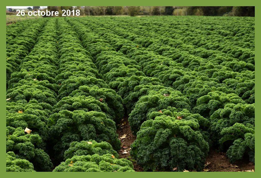 Le chou Kale bientôt dans les assiettes
