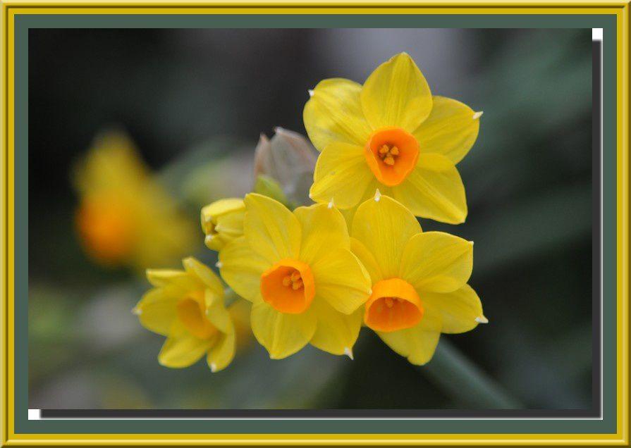 La floraison d'hiver se met au jaune