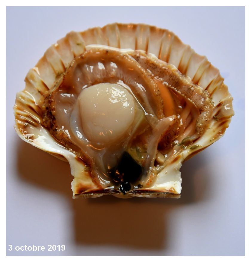 Coquille saint Jacques, campagne 2019-2020 ouverte
