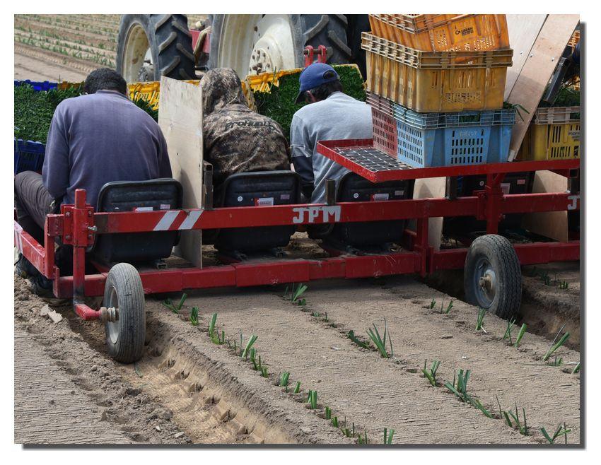 2020 : savez-vous planter des choux. Planter des poireaux