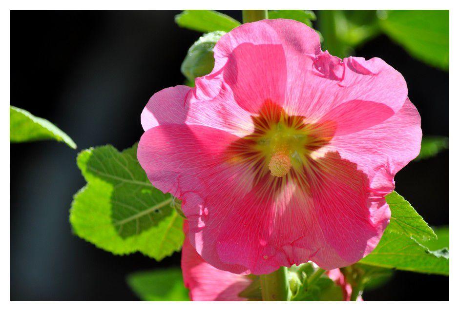 Variations en blanc et rose des roses trémières