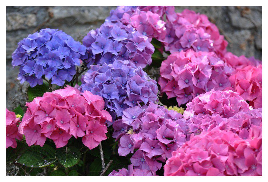 La couleur des hortensias (suite)