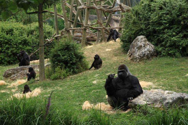 Zoo de Beauval : le repas des gorilles