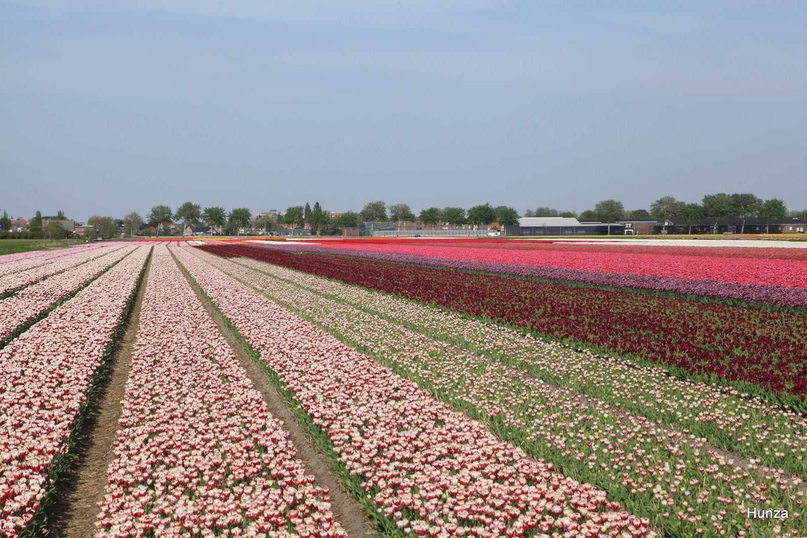 Visiter Keukenhof et voir des champs de tulipes près d'Amsterdam