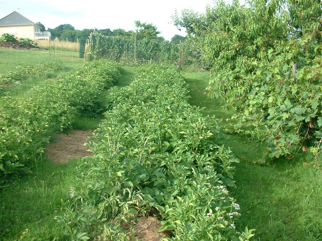 Les pommes de terre sur gazon de notre ami michel en for Recherche tonte pelouse