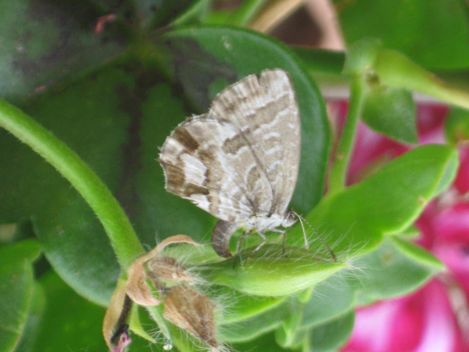 un joli papillon dont je ne connais pas le nom