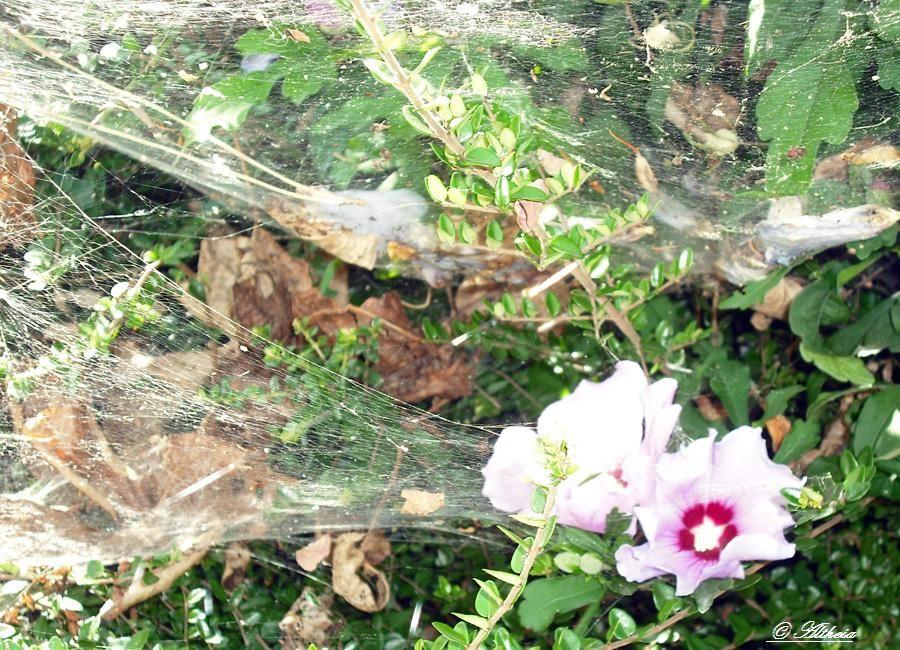Toile d'araignée et fleurs_Martine_photo
