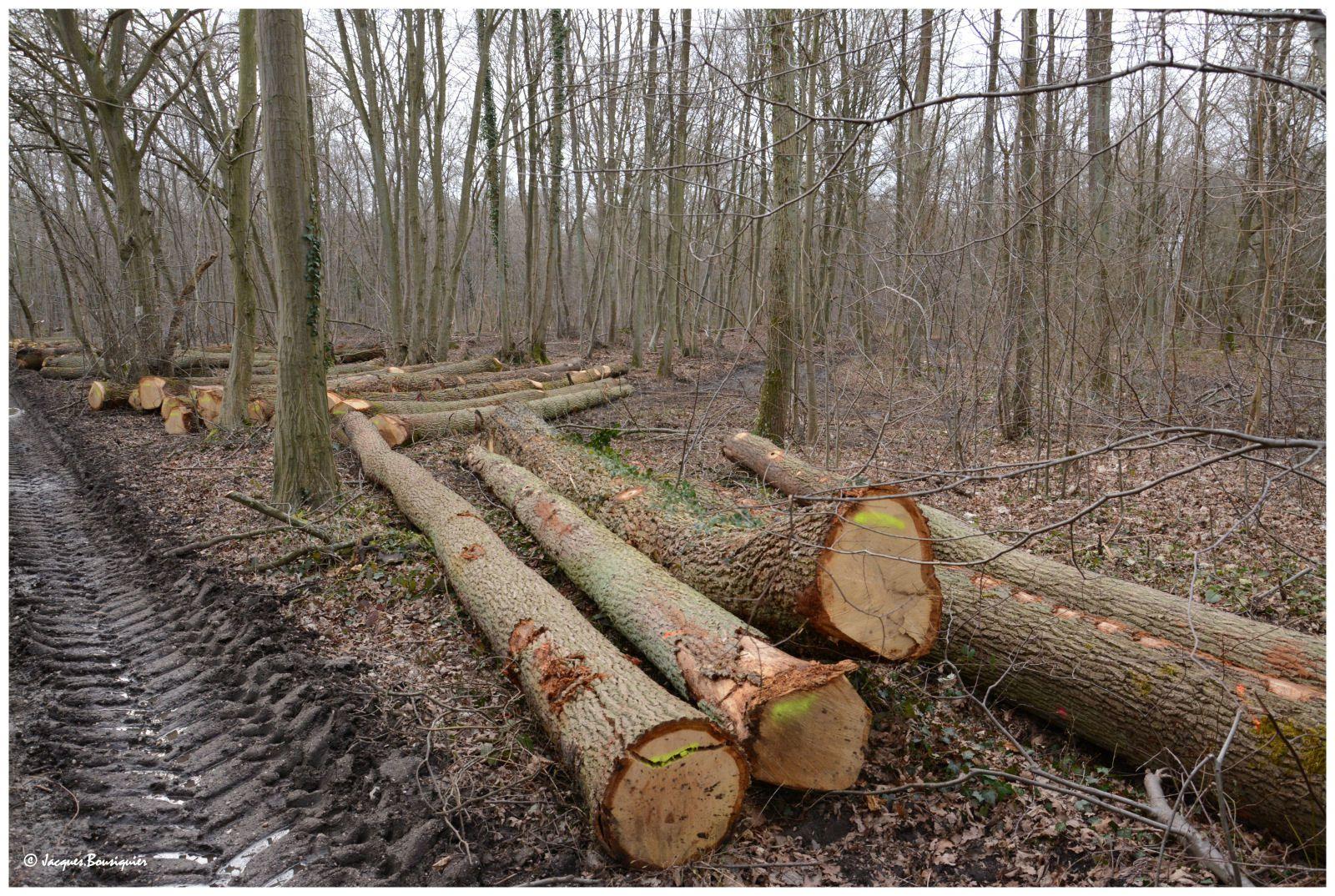 Ce chêne (2ème photo) ressemble étrangement au Chêne Andreau, cet arbre remarquable de la forêt d'Halatte (liens tout-en-bas).