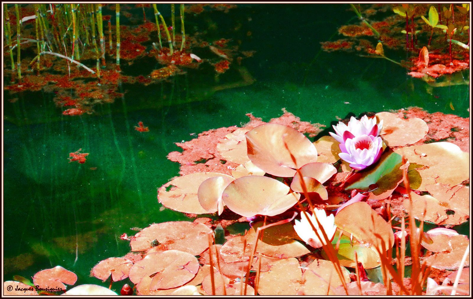 Lotus inversé