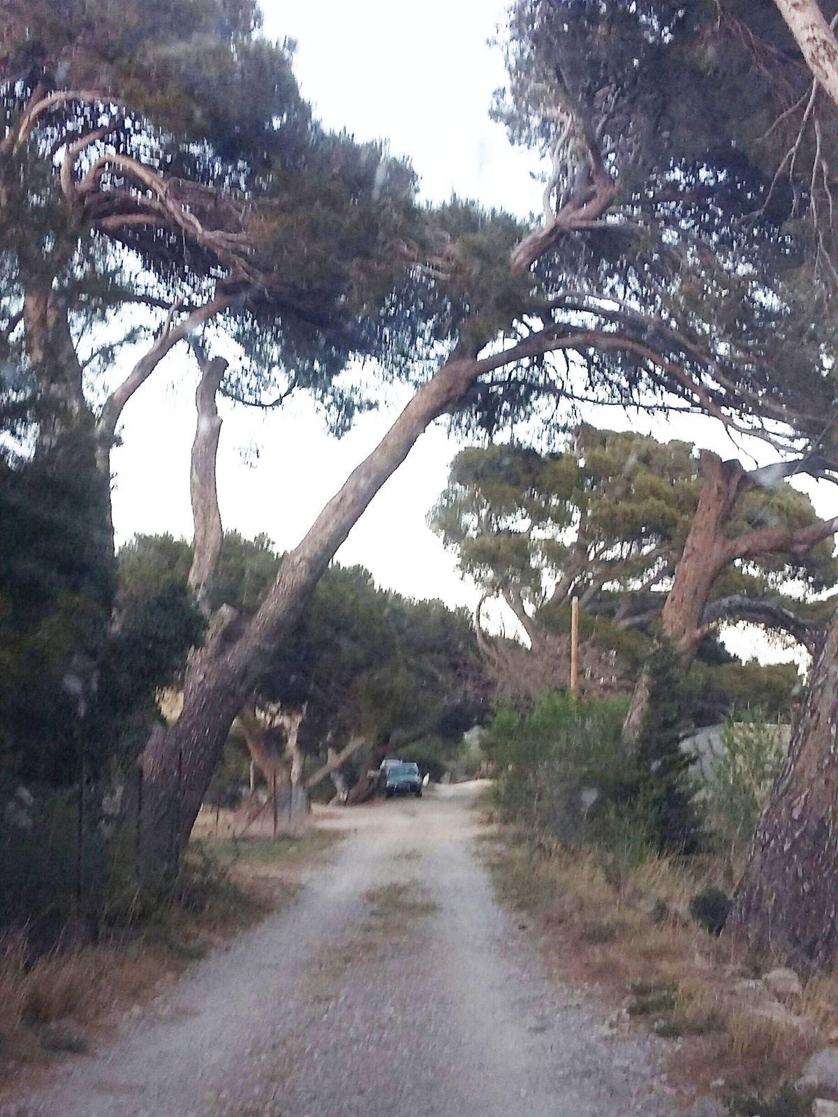 """Le genévrier d'Opoul-Périllos, un arbre """"remarquable"""""""