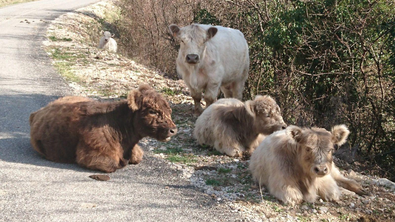 Ralentir, mais ne pas déranger ! Elles me regardent passer ces vaches sur la route entre le col de Pennes et Aucelon.