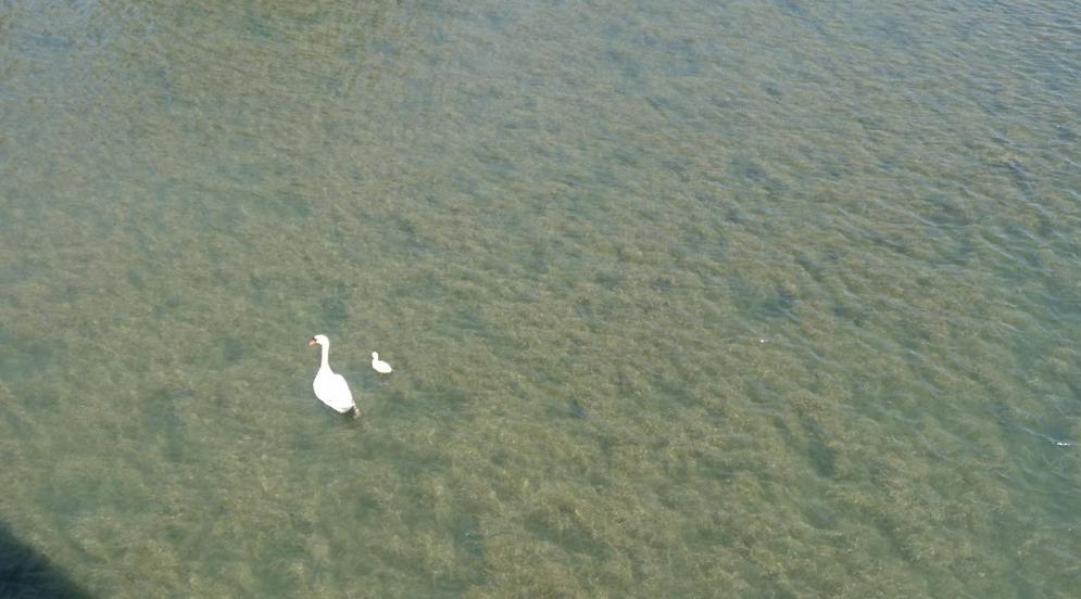 Beaucoup de cygnes à la confluence