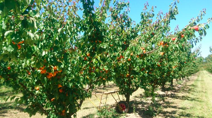 C'est la saison des abricots.