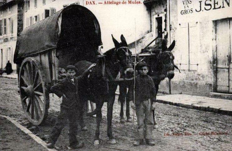 """La mule et l'attelage au  joug """"landais"""" ;1° Histoire"""