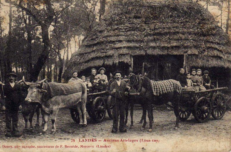 Mules et boeufs attelés au carts (carts, kas)