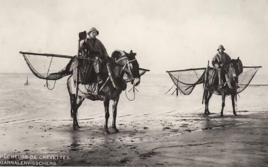Pêche aux crevettes à cheval. (accompagné d'un film d'époque)