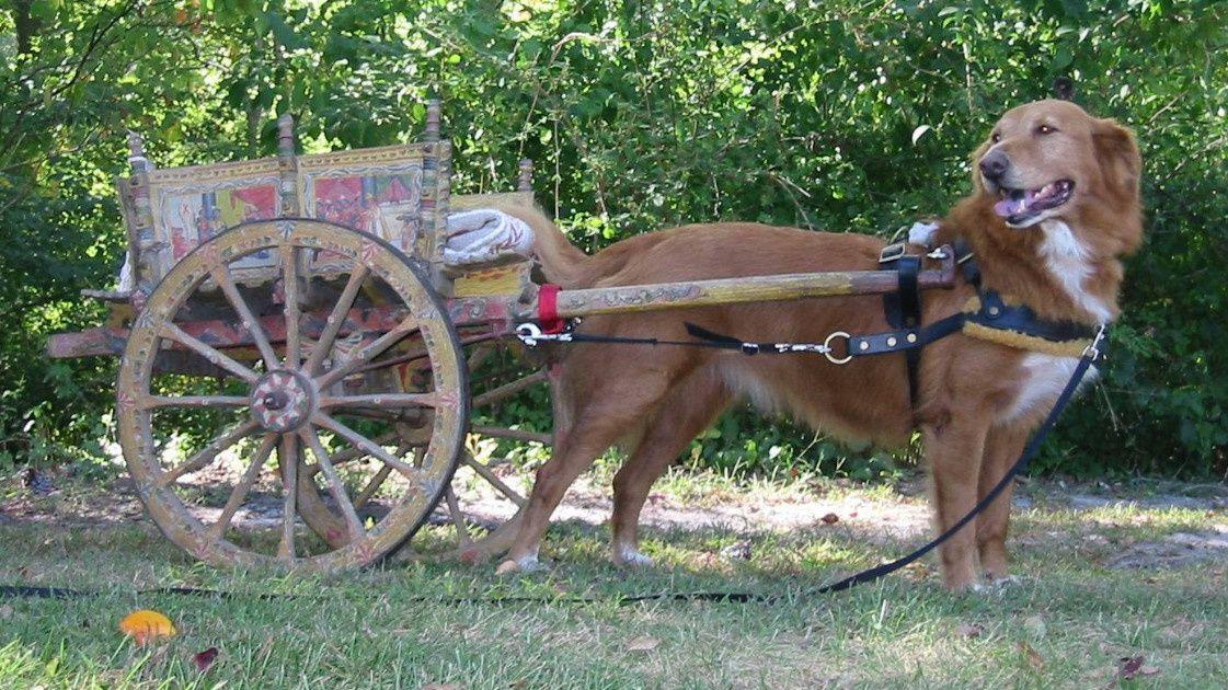Chien de trait ;    le cheval du pauvre.