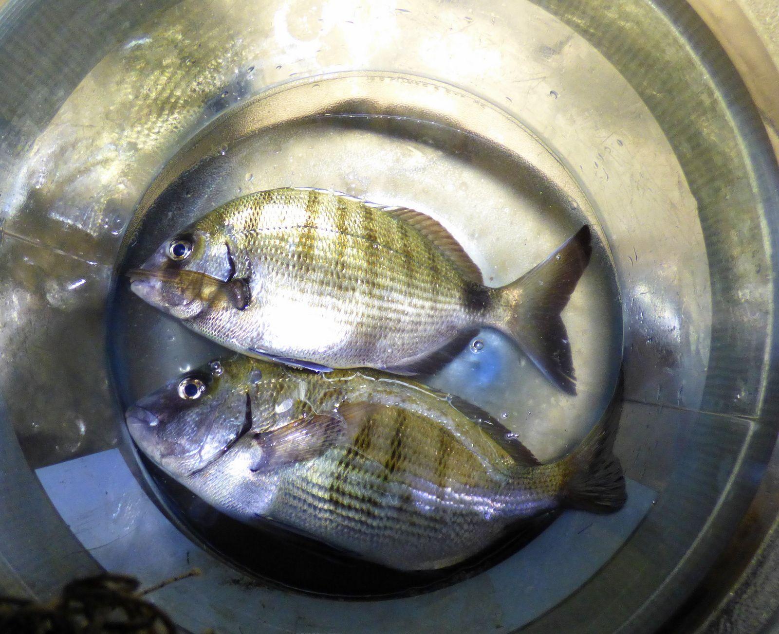 La pêche aux calmars.